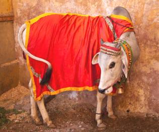 indias sacred cow marvin harris summary